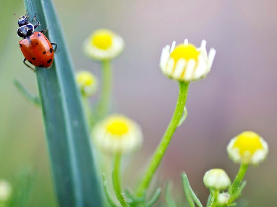 A ladybug hangs on a garlic scape near flowers of a German chamomile plant.  pat shannahan/the republic A lady bug hangs on a garlic scape near German Chamomile flowers. Lady bugs are natural exterminators eating pests throughout the garden.  (Pat Shannahan/ The Arizona Republic)