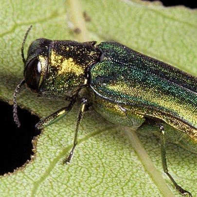The emerald ash borer, an invasive species that Vermont
