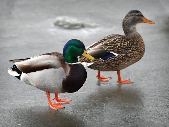 In this file photo, male and female Mallard ducks are seen on a frozen duck pond at Lucy Park. Duck hunting season for the North Zone of Texas begins Nov. 9.