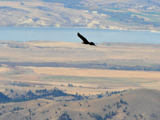 A golden eagle rides the thermal air currents over the Big Belt Mountains in fall 2016, when the highest number of migrating golden eagles in the country were documented from an observation site in the mountains.