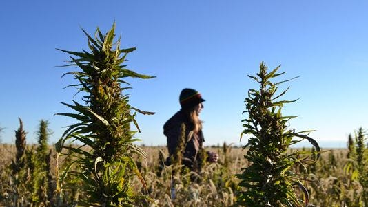 A volunteer walks through a hemp field at a farm in Springfield, Colo., in October during the first known harvest of industrial hemp in the U.S. since the 1950s.
