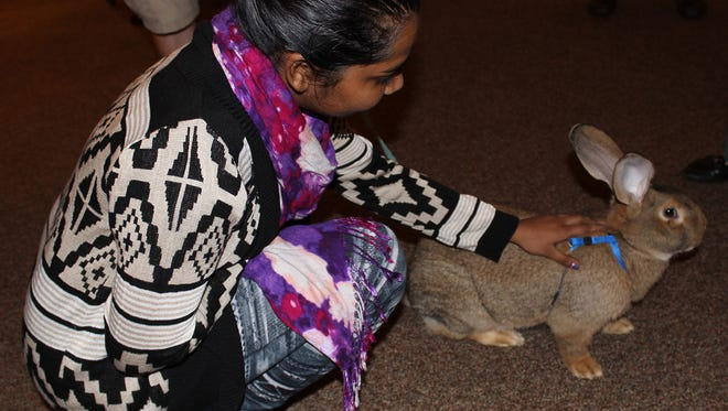 William Carey senior Gracia Sircar pets a Flemish giant rabbit at the opening reception for an art exhibit of animals painted by Mississippi artists.