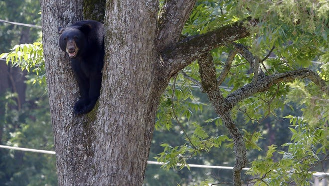 A bear wandering around the Historic District of Opelika was tranquilized in this tree, climbed down and later feel asleep and relocated after a couple hour chase. (Todd J. Van Emst/Opelika-Auburn News via AP)