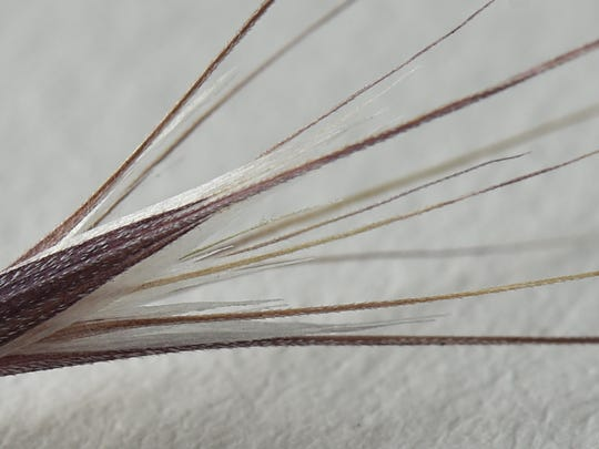 A macro photograph of a foxtail June 26, 2017. The spines cause the foxtails to stick to fur and move one direction: closer to the skin. The sharp splintery ends can cut through skin and migrate into an animal's body.