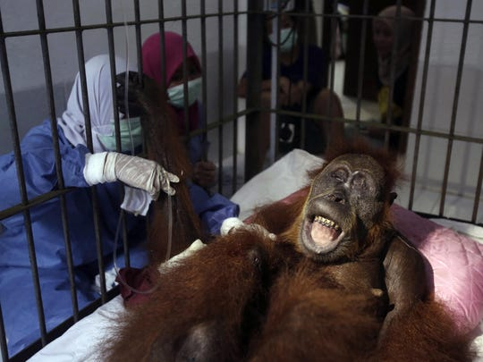 In this photo taken on Sunday, March 17, 2019, veterinarians and volunteers of Sumatra Orangutan Conservation Programme (SOCP) tend to a female orangutan they named 'Hope' after conducting a surgery for infections in some parts of the body and to fix broken bones, at SOCP facility in Sibolangit, North Sumatra, Indonesia.
