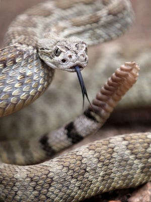 A Mohave rattlesnake used in snake-avoidance classes to help educate people about how to react to venomous reptiles at Davis Creek Park in Washoe Valley, Nev.