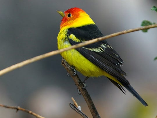 Adult male Western Tanagers are yellow birds with black wings and a flaming orange-red head. The wings have two bold wingbars; the upper one yellow and the lower white. The back and tail are black. They breed in juniper-pine mixtures at low elevation, up to spruce-fir near the treeline. During migration, they might be found in nearly any shrubby or wooded habitats, and even in fairly open country