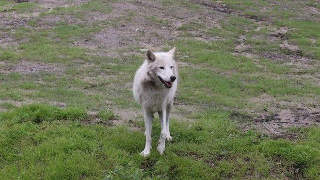 Waziyata the gray wolf roams a grassy area.