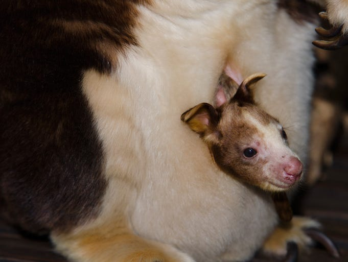 Rocket pokes his head out of mom Kasbeth's pouch.