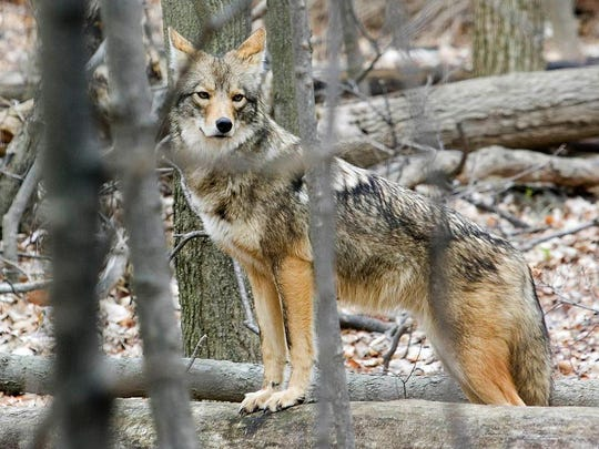 The Department of Natural Resources says coyotes are