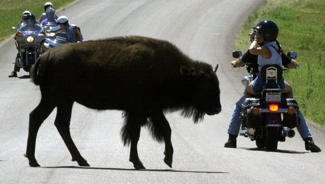 ONE OF EIGHT PHOTOS BY NATI HARNIK -- Watched by bikers, a bison at Custer State Park in South Dakota's Black Hills crosses a road Aug. 6, 2001, during the 61st annual Sturgis Bike Rally. The week-long event, one of the largest Harley Davidson motorcycle rallies in the U.S., draws hundreds of thousands of Harley enthusiasts who show off their bikes, talk shop, purchase souvenirs and biking accessories and tour the scenic Black Hills surrounding Sturgis. (AP Photo/Nati Harnik)