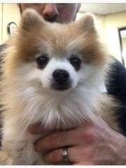 Tub Tub, a 9-year-old male Pomeranian, was stolen from
