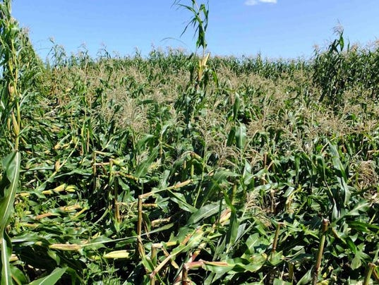 -A-corn-field-is-leveled-by-anthracnose-stalk-rot.JPG