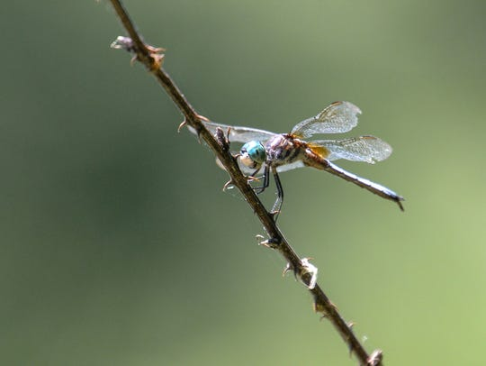 A dragonfly rests along the Rocky River in Anderson