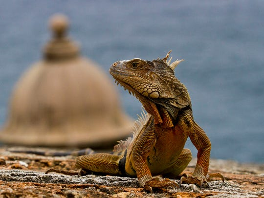 An iguana makes its way to the top level of the Castillo San Felipe del Morro in Old San Juan. El Morro is a National Historic Site (World Heritage Site). The Spanish spent more than 250 years fortifying the location of Puerto Rico, since through it, Spain controlled all access in and out of the Caribbean.