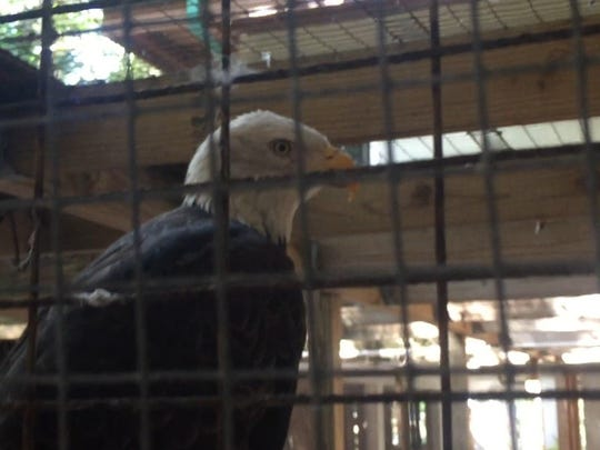 One-winged Erica perches in her temporary cage under the Calusa Nature Center, where she'll stay until the nonprofit builds a new aviary for her and the other injured birds it cares for.