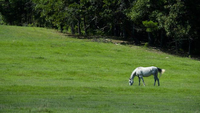 """With summer far behind and once green pastures nibbled to the ground, horses may be at risk of accumulating sand in their digestive tracts - leading to a condition called """"sand colic"""""""