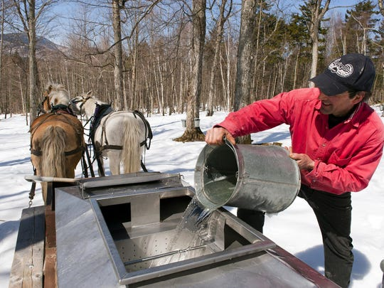 Sap is poured out of the bucket at the Trapp Family Lodge. North America's sugar maples are the best source for making maple syrup.