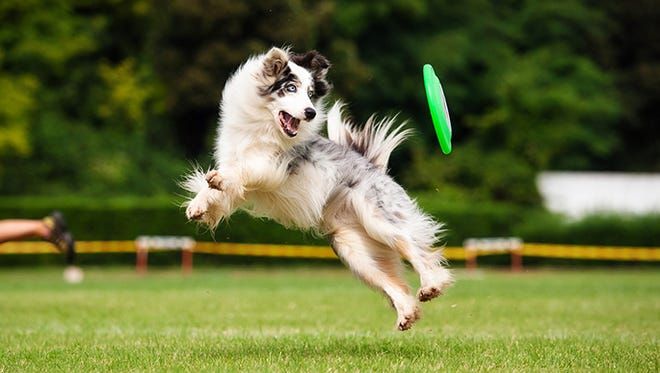 Genetics often takes the blame, but there are many causes of hip dysplasia in dogs. Above, a border collie dog catches a frisbee.