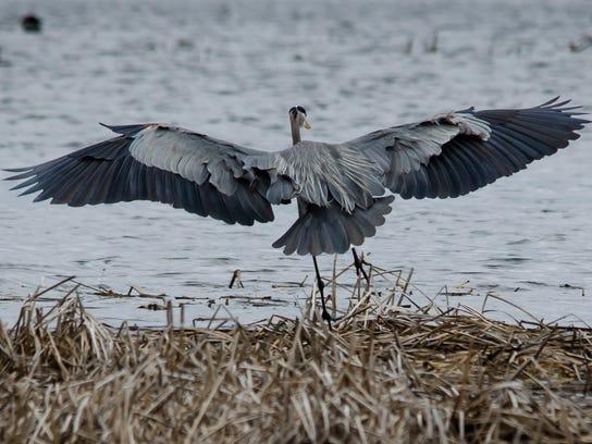 NLDC - Blue Heron - Azael Meza.jpg