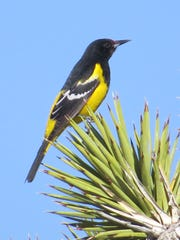 Scott's oriole in Mojave National Preserve.