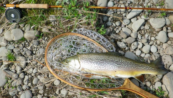 This 23-inch tiger trout was a surprise trophy fish taken in the Delaware River recently by the author.