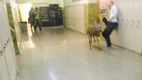 A deer on the loose in Eastern High School.