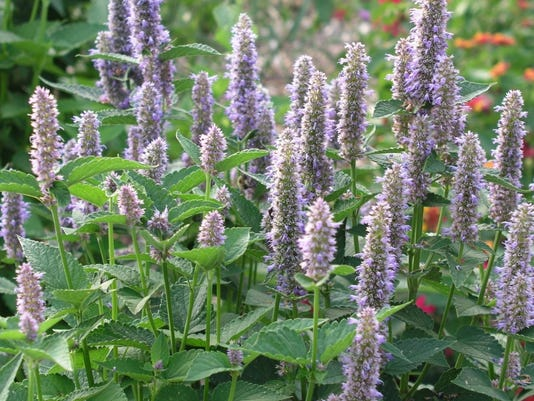 636669167973197150-African-blue-basil-blooms-are-very-attractive-to-many-native-bees-and-beneficial-wasps.-Photo-by-Elizabeth-Georges..jpg