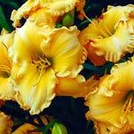 Goldilocks daylily