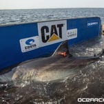 "Researchers captured this great white shark in August 2013 off Cape Cod, fitted her dorsal fin with a satellite tracking device and dubbed her ""Katharine."" At the time, she was 14 feet long and weighed 2,300 pounds. Now they believe she's likely a few feet longer and at least 3,000 pounds — the size when big great whites start to make little great whites."
