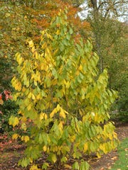 Asimina triloba, the Paw Paw tree, is native to New Jersey.