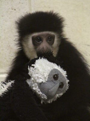 Usi, a colobus monkey, was born this year at Binder Park Zoo.