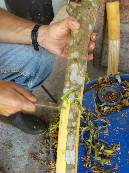 635935568552314423-Harvesting-Cinnamon.jpg