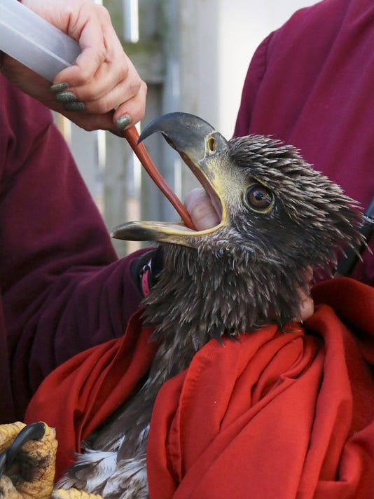 Bald eagle found sick