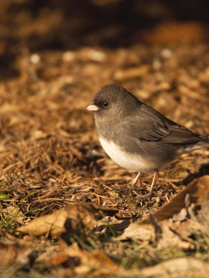 The cute little dark-eyed juncos, or as some folks refer to them, snow birds, are members of the sparrow family, and are often seen harvesting seed below feeders.