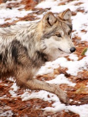 The wolves are new additions to Binder Park Zoo and