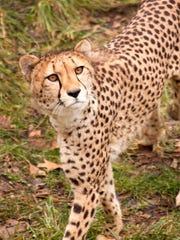 The three cheetahs at Binder Park Zoo are all female.