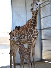 Mom, Tuli, with her new baby, born at The Living Desert in Palm Desert on April 28, 2017. The calf is the biggest giraffe born at the zoo to date, weighing 185.9 pounds and standing 6 feet 3 inches tall at birth.