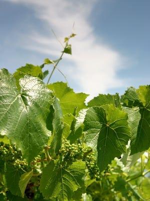 Vines around Seneca Lake.