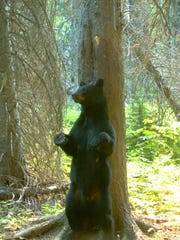 -Black bear rubbing on tree in Flathead Nat'l Forest (credit US Geological s.jpg