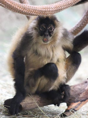Agnes the black-handed spider monkey, the longest living resident of the Peoria Zoo, has died. She was 48.