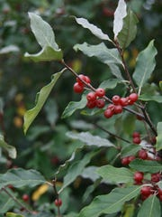"A shrub up to 15 feet tall with silvery leaves and silvery tinged red drupes growing at the leaf axles, autumn olive is an introduced plant that escaped cultivation. It's labeled ""delicious"" in Marrone's ""Wild Berries & Fruits Field Guide."""