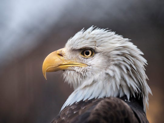 An injured bald eagle perches in the flight cage behind