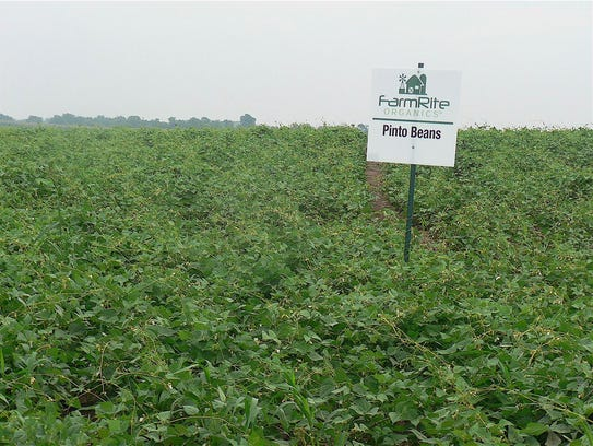 A field of pinto beans at Doudlah Farm, a new crop