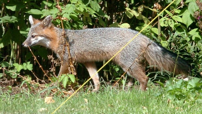 An August 2005 file photo shows a fox in the woods.