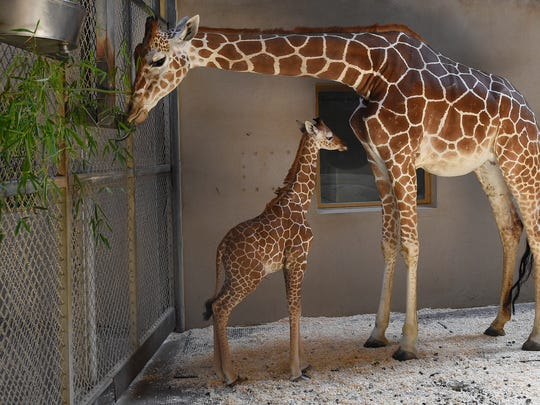 This photo from the Maryland Zoo shows baby giraffe