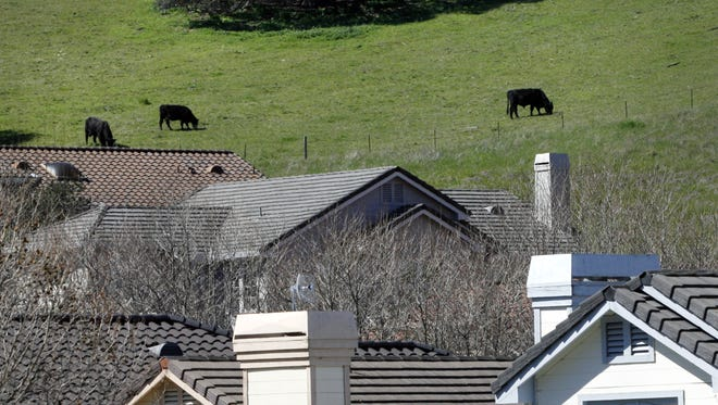 Cattle graze graze on the hills above Las Palmas Ranch homes in this file photo.