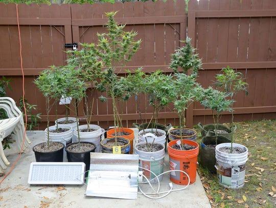 Indian River County deputies found a marijuana growing