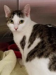 Sandy is a pretty, brown tabby girl with white who