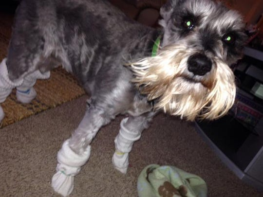 This schnauzer wears socks secured with rubberbands to keep her paws warm in the cold weather.